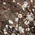 ウメ 花の様子 品種 十郎