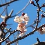 ウメ 花の姿 品種 梓弓