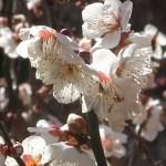 ウメ 花の姿 品種 長束