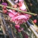 ウメ 花の姿 品種 牡丹枝垂