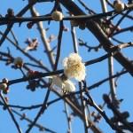 ウメ 花の様子 品種 白加賀