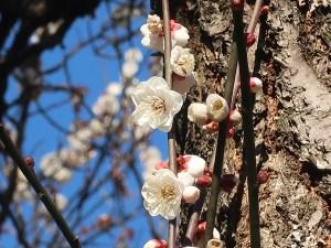 ウメ 花の様子 品種 八重野梅