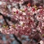 カワヅザクラ 花の様子