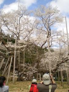 エドヒガン 根尾薄墨桜 花の様子