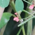 ナンバンコマツナギ 花の姿