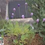 Lavandula pinnata/ レースラベンダー 花の咲いている様子