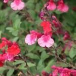 オータムセージ 花の姿