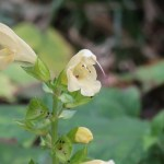 キバナアキギリ 花の姿