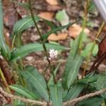 イブキトラノオ 花の咲いている様子