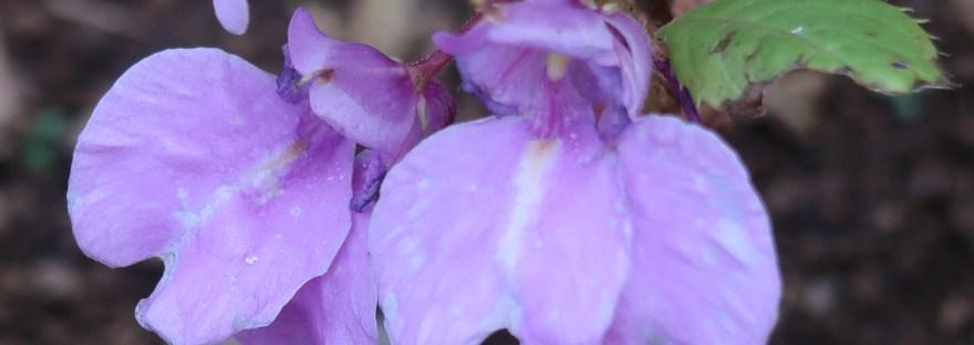 Rose balsam/ ホウセンカ