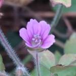 Japanese Geranium/ ゲンノショウコ 花の姿
