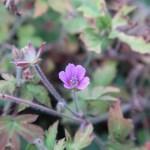 Japanese Geranium/ ゲンノショウコ 花の咲いている様子