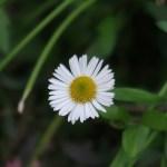 Mexican fleabane/ エリゲロン 花の姿