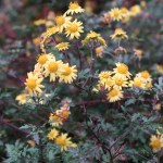 Indian chrysanthemum/ シマカンギク 花の咲いている様子