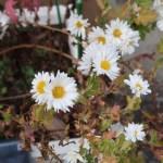 Florist's daisy/ キク 杭菊 薬用品種 花の様子
