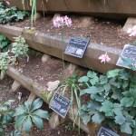 Nerine undulata/ ヒメヒガンバナ 花の咲いている様子