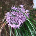 Allium kiiense/ キイイトラッキョウ 花の姿