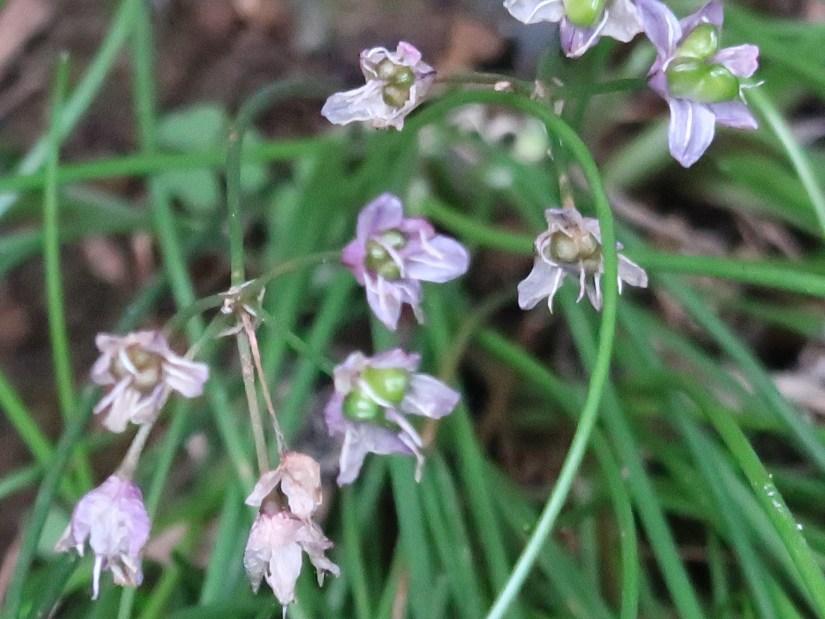 Allium virgunculae/ イトラッキョウ