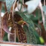 Aeschynanthus marmoratus / エスキナンサス・マルモラタス 葉と花の様子