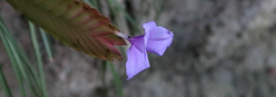 Pink quill/ ハナアナナス