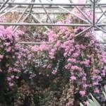 Bougainvillea/ ブーゲンビリア 花の咲いている様子