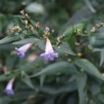 Goldfussia/ ストロビランテス・アニソフィルス 花の咲いている様子