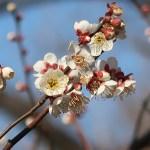Japanese apricot/ ウメ 花の姿 品種 竜峡