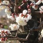 Japanese apricot/ ウメ 花の姿 品種 玉牡丹