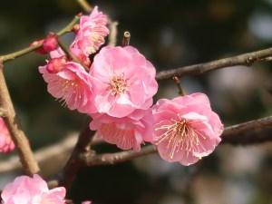 Japanese apricot/ ウメ 花の姿 品種 未開紅