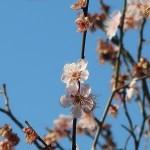 Japanese apricot/ ウメ 花の咲く様子 品種 麝香