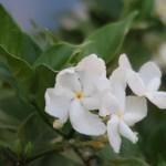 Arabian jasmine マツリカ 花の姿