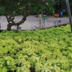 Lettuce tree/ サラダノキ ベトナムの公園の植栽