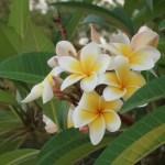Plumeria/ プルメリア 花の姿
