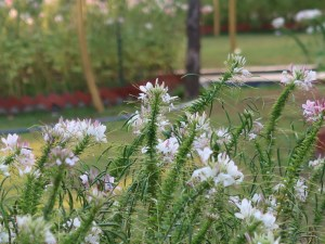 Spider flower/ セイヨウフウチョウソウ 花の咲いている様子 (白花)