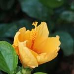 Chinese hibiscus/ ブッソウゲ 花の姿 開き始め