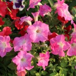 Petunia/ ペチュニア  花の様子