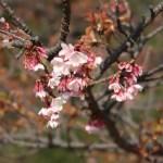 カンザクラ 花の咲いている様子