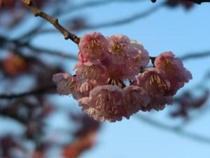 ツバキカンザクラ 花の様子