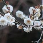 Japanese apricot/ ウメ 花の姿 品種 麝香