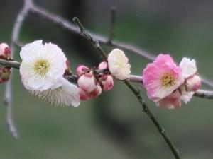 Japanese apricot/ ウメ 花の咲いている様子 品種 思いのまま