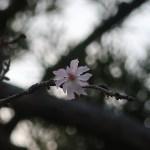 ジュウガツザクラ 花の様子