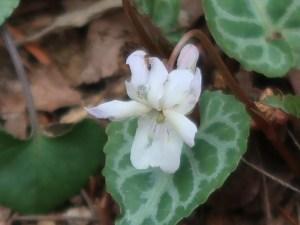 Viola tokubuchiana var. takedana/ ヒナスミレ
