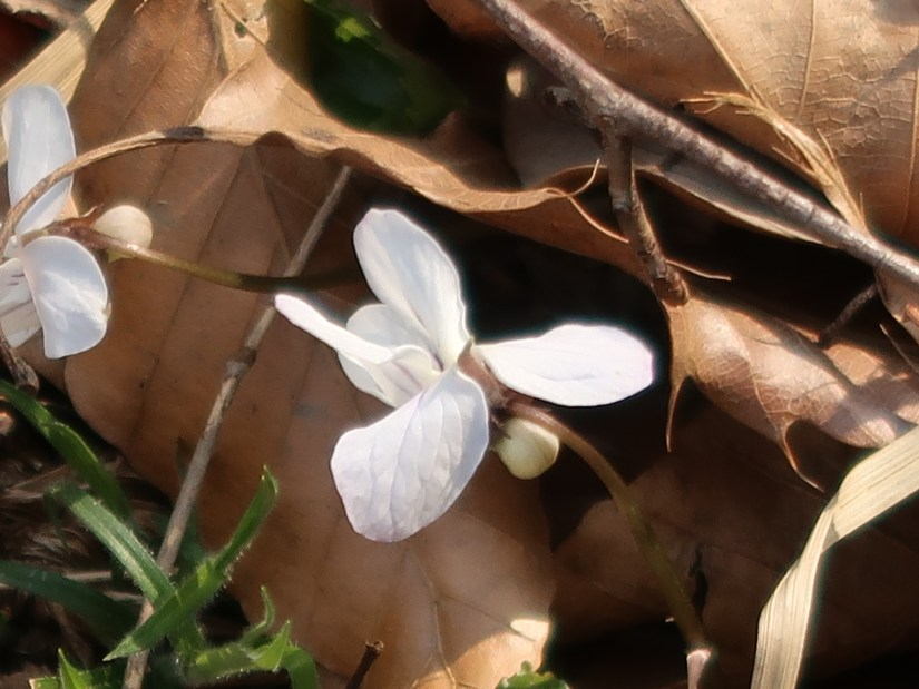 Viola bissetii/ ナガハノスミレサイシン