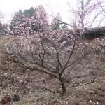 Cherry var. Hinazakura/ ヒナザクラ 花の咲いている様子
