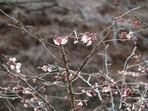 Cherry var. Kinkimamezakura/ キンキマメザクラ 咲き始めの花の様子