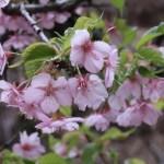 Cherry var. Kawazu-zakura/ カワヅサクラ 終わりに近い花の姿