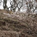 Cherry var. Myoshoji/ ミョウショウジザクラ 花の咲いている様子