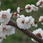 Japanese apricot/ ウメ 花の姿 品種 座論