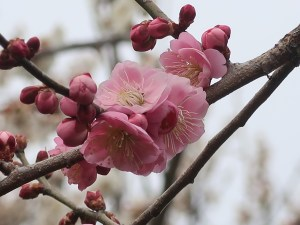 Japanese apricot/ ウメ 花の姿 品種 御所紅