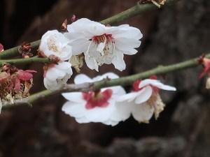 Japanese apricot/ ウメ 花の姿 品種 白難波